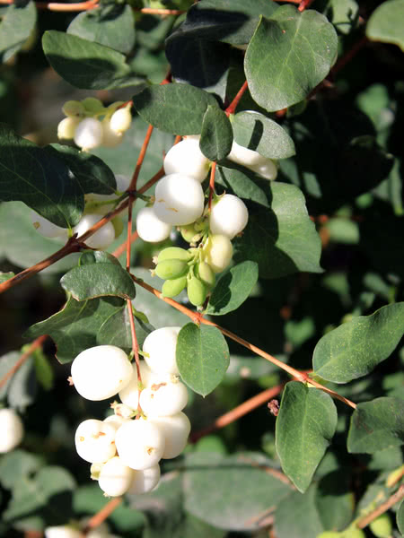 Snowberry For Sale Treetime Ca