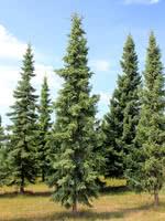 Shorleaf Black Spruce