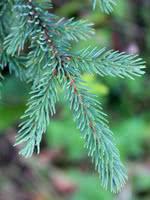 Black Spruce - 2 Year Old