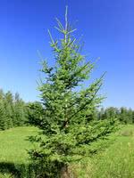 Western White Spruce