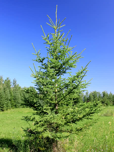 White Spruce For Sale Treetime Ca