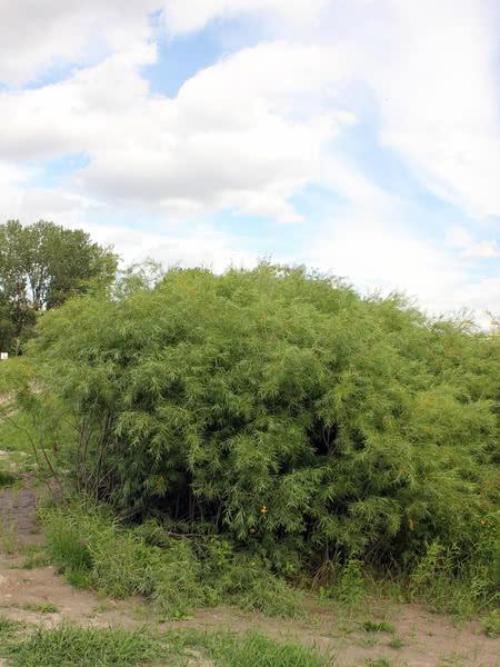 Sandbar Willow For Sale Treetime Ca