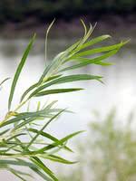 Sandbar Willow